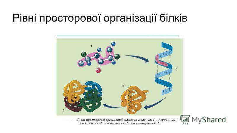 Рівні просторової організації білків