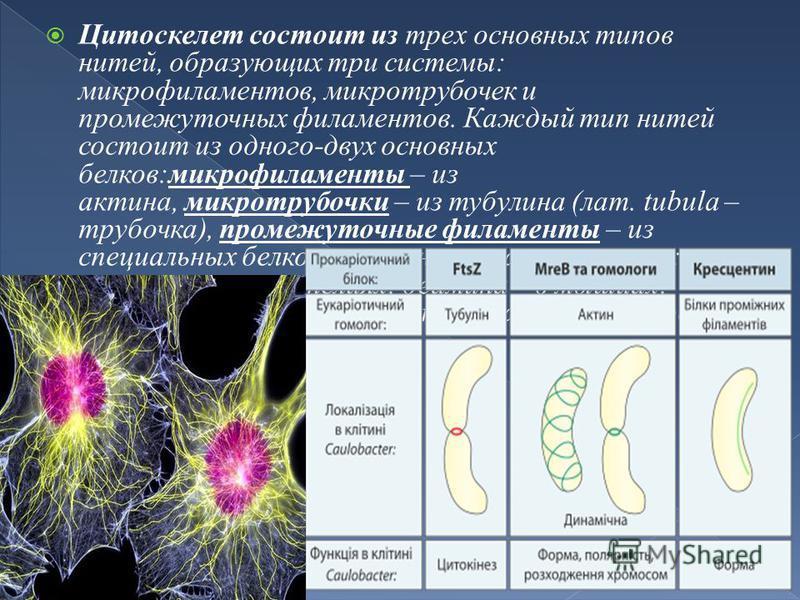 Цитоскелет состоит из трех основных типов нитей, образующих три системы: микрофиламентов, микротрубочек и промежуточных филаментов. Каждый тип нитей состоит из одного-двух основных белков:микрофиламенты – из актина, микротрубочки – из тубулина (лат.