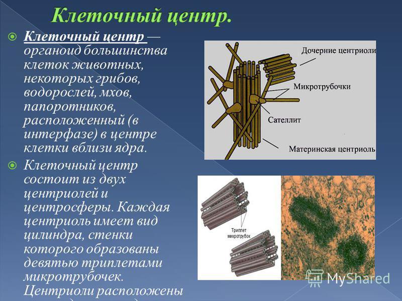Клеточный центр органоид большинства клеток животных, некоторых грибов, водорослей, мхов, папоротников, расположенный (в интерфазе) в центре клетки вблизи ядра. Клеточный центр состоит из двух центриолей и центросферы. Каждая центриоль имеет вид цили