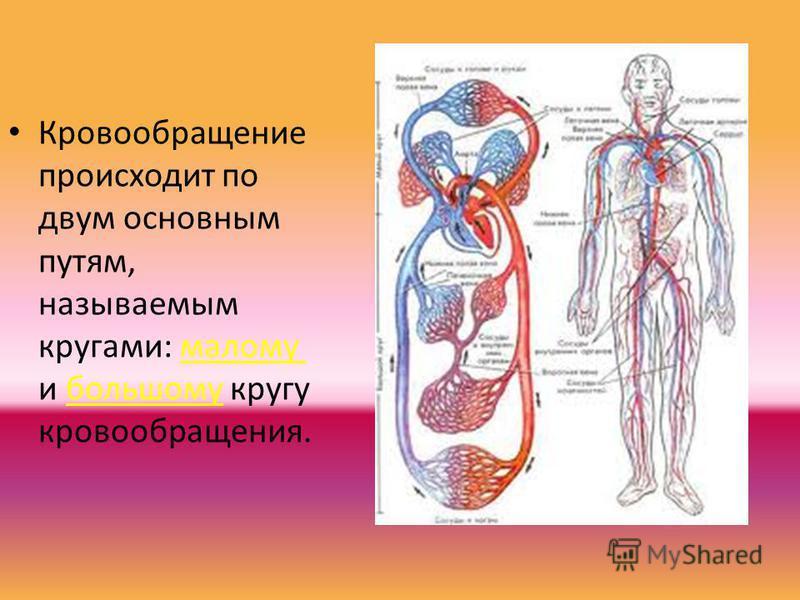Кровообращение происходит по двум основным путям, называемым кругами: малому и большому кругу кровообращения.