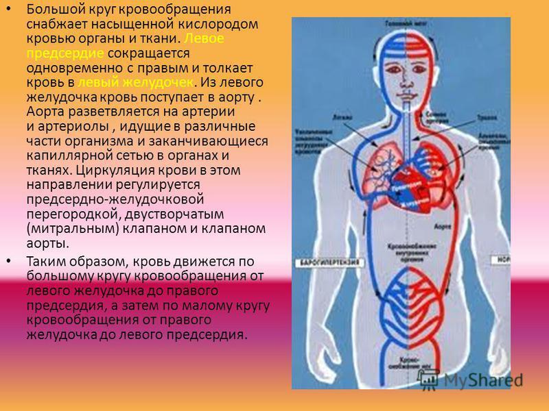 Большой круг кровообращения снабжает насыщенной кислородом кровью органы и ткани. Левое предсердие сокращается одновременно с правым и толкает кровь в левый желудочек. Из левого желудочка кровь поступает в аорту. Аорта разветвляется на артерии и арте