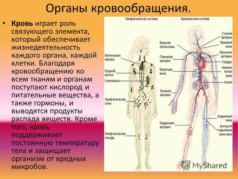 Органы кровообращения. Кровь играет роль связующего элемента, который обеспечивает жизнедеятельность каждого органа, каждой клетки. Благодаря кровообращению ко всем тканям и органам поступают кислород и питательные вещества, а также гормоны, и выводя