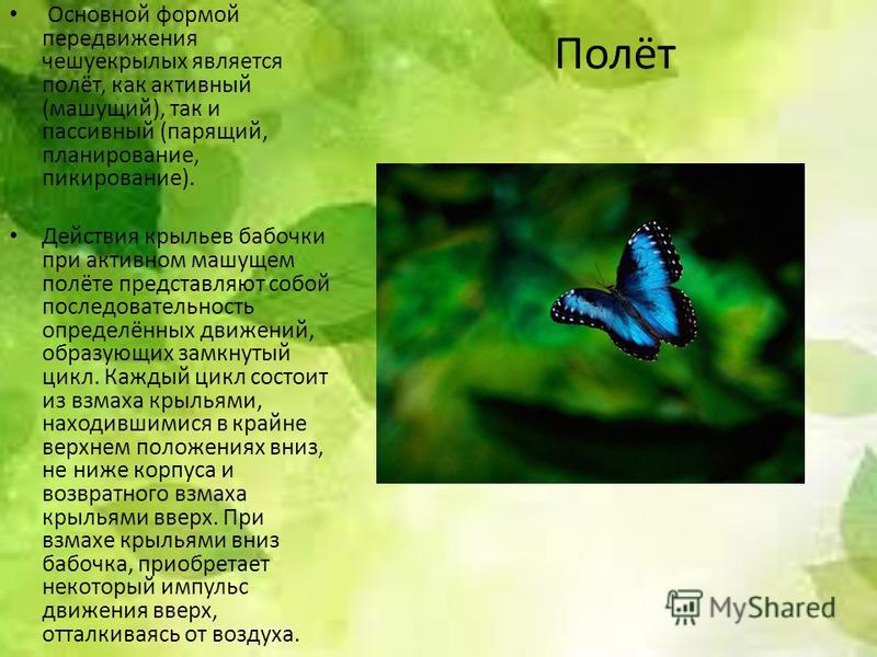 Полёт Основной формой передвижения чешуекрылых является полёт, как активный (машущий), так и пассивный (парящий, планирование, пикирование). Действия крыльев бабочки при активном машущем полёте представляют собой последовательность определённых движе