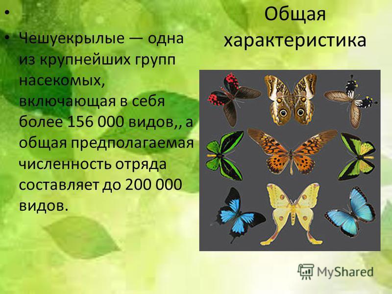 Общая характеристика Чешуекрылые одна из крупнейших групп насекомых, включающая в себя более 156 000 видов,, а общая предполагаемая численность отряда составляет до 200 000 видов.