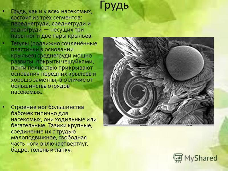 Грудь Грудь, как и у всех насекомых, состоит из трёх сегментов: переднегруди, среднегруди и заднегруди несущих три пары ног и две пары крыльев. Тегулы (подвижно сочленённые пластинки в основании крыльев) среднегруди мощно развиты, покрыты чешуйками,