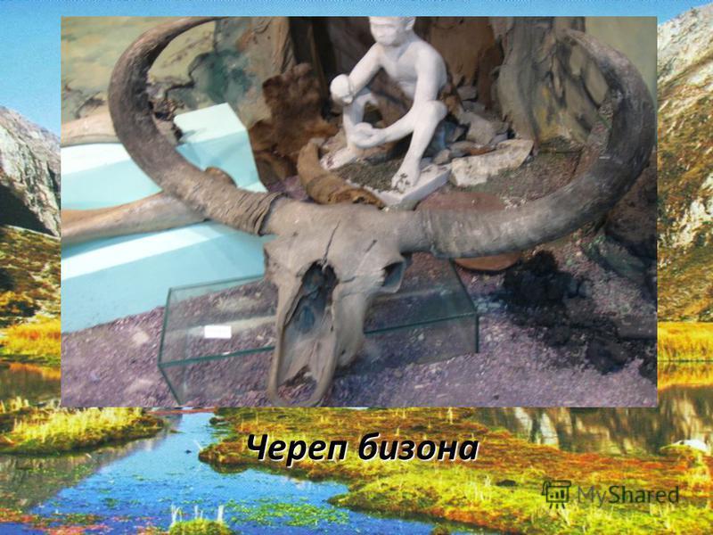 Череп бизона