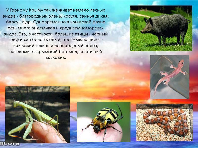 У Горному Крыму так же живет немало лесных видов - благородный олень, косуля, свинья дикая, барсук и др. Одновременно в крымской фауне есть много эндемиков и средиземноморских видов. Это, в частности, большие птицы - черный гриф и сип белоголовый, пр