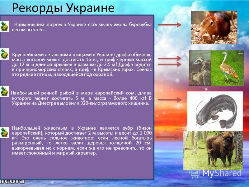 Рекорды Украине Наименьшим зверем в Украине есть мышь имела бурозубка весом всего 6 г. Крупнейшими летающими птицами в Украине дрофа обычная, масса которой может достигать 16 кг, и гриф черный массой до 12 кг и длиной крыльев в размахе до 2,5 м! Дроф