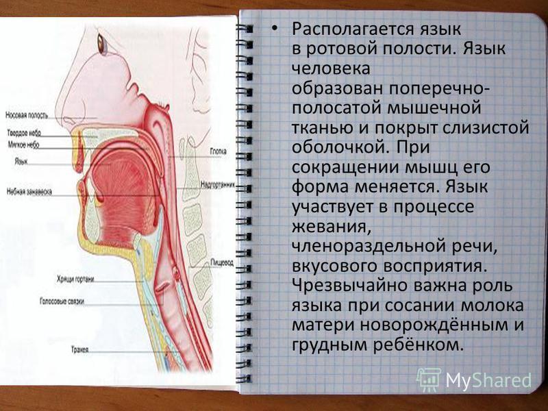 Располагается язык в ротовой полости. Язык человека образован поперечно- полосатой мышечной тканью и покрыт слизистой оболочкой. При сокращении мышц его форма меняется. Язык участвует в процессе жевания, членораздельной речи, вкусового восприятия. Чр