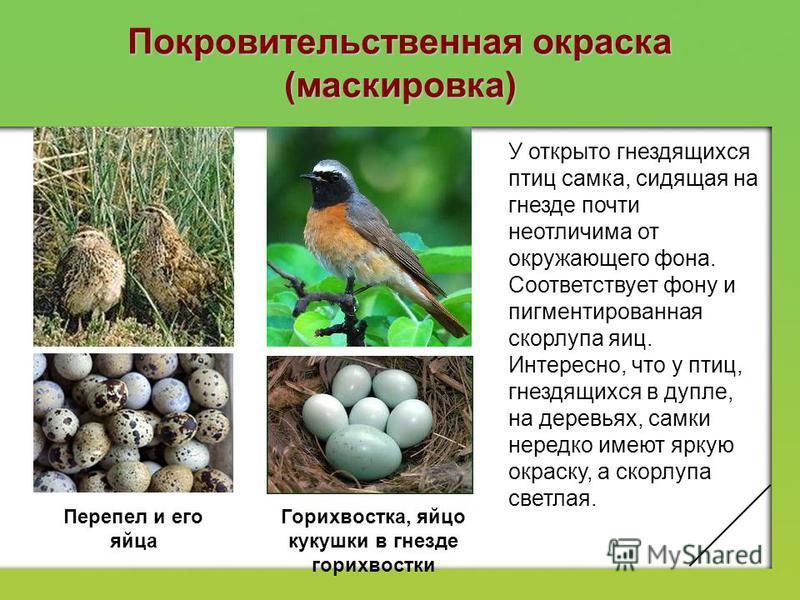 Покровительственная окраска (маскировка) У открыто гнездящихся птиц самка, сидящая на гнезде почти неотличима от окружающего фона. Соответствует фону и пигментированная скорлупа яиц. Интересно, что у птиц, гнездящихся в дупле, на деревьях, самки нере