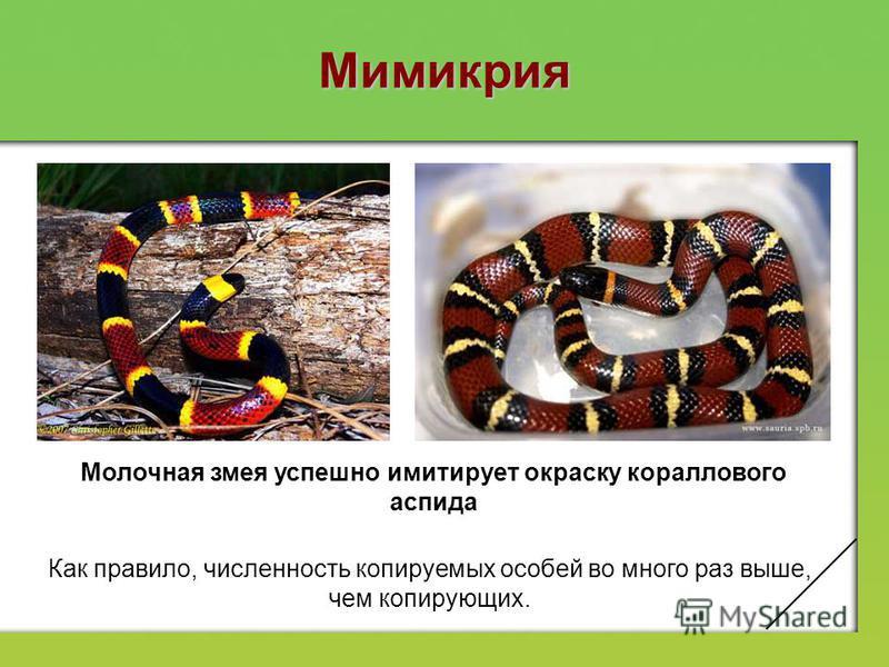 Мимикрия Молочная змея успешно имитирует окраску кораллового аспида Как правило, численность копируемых особей во много раз выше, чем копирующих.