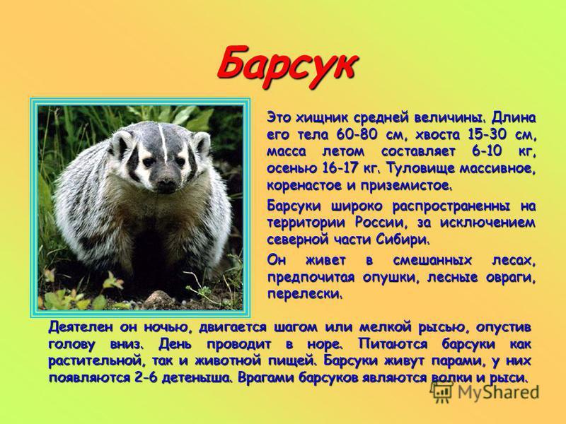 Барсук Это хищник средней величины. Длина его тела 60-80 см, хвоста 15-30 см, масса летом составляет 6-10 кг, осенью 16-17 кг. Туловище массивное, коренастое и приземистое. Барсуки широко распространенны на территории России, за исключением северной
