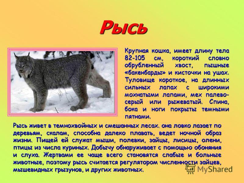 Рысь Крупная кошка, имеет длину тела 82-105 см, короткий словно обрубленный хвост, пышные «бакенбарды» и кисточки на ушах. Туловище короткое, на длинных сильных лапах с широкими мохнатыми лапами, мех палево- серый или рыжеватый. Спина, бока и ноги по