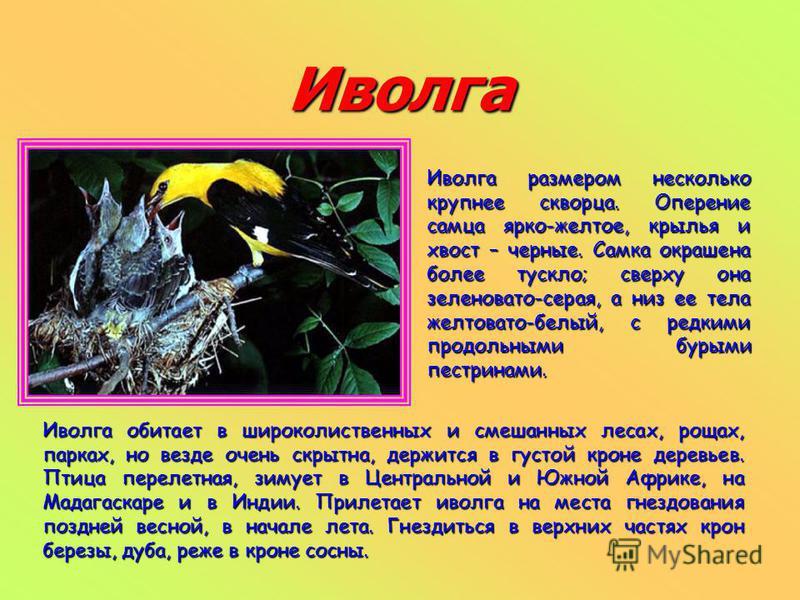Иволга Иволга размером несколько крупнее скворца. Оперение самца ярко-желтое, крылья и хвост – черные. Самка окрашена более тускло; сверху она зеленовато-серая, а низ ее тела желтовато-белый, с редкими продольными бурыми пестринами. Иволга обитает в