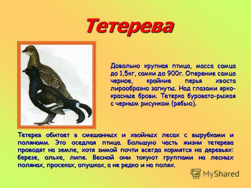 Тетерева Довольно крупная птица, масса самца до 1,5 кг, самки до 900 г. Оперение самца черное, крайние перья хвоста лирообразно загнуты. Над глазами ярко- красные брови. Тетерка буровато-рыжая с черным рисунком (рябью). Тетерев обитает в смешанных и
