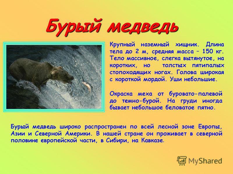 Бурый медведь Крупный наземный хищник. Длина тела до 2 м, средняя масса – 150 кг. Тело массивное, слегка вытянутое, на коротких, но толстых пятипалых стопоходящих ногах. Голова широкая с короткой мордой. Уши небольшие. Бурый медведь широко распростра