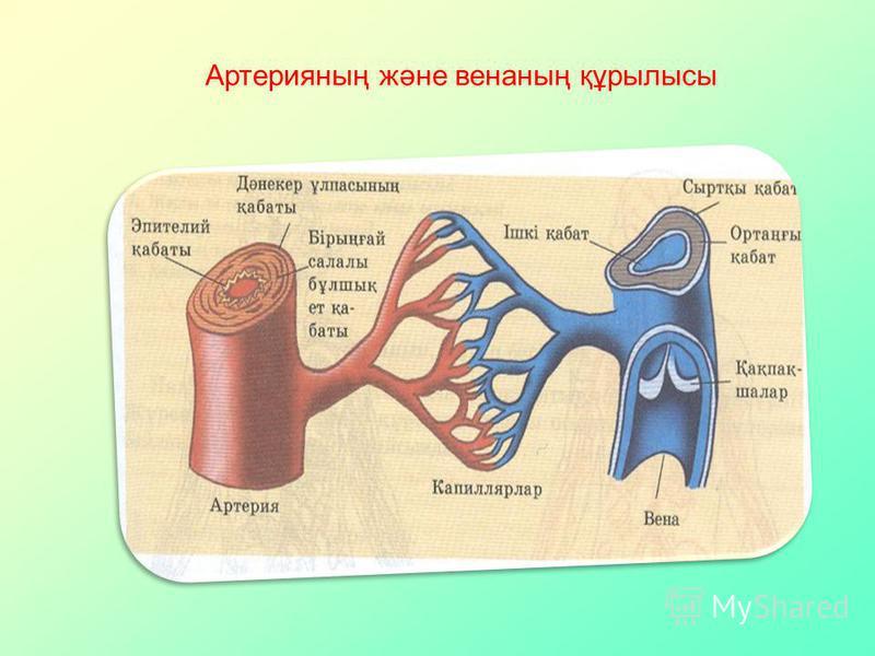 Артерияның және венаның құрылысы