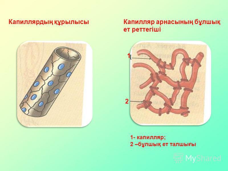 Капиллярдың құрылысы Капилляр арнасының бұлшық ет реттегіші 1 2 1- капилляр; 2 –бұлшық ет талшығы