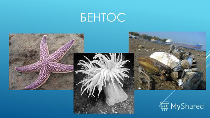 БЕНТОС