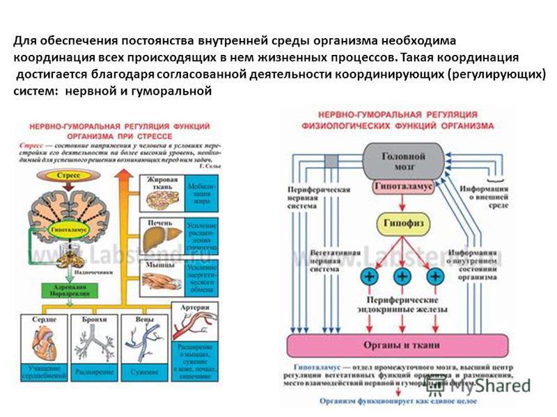 Для обеспечения постоянства внутренней среды организма необходима координация всех происходящих в нем жизненных процессов. Такая координация достигается благодаря согласованной деятельности координирующих (регулирующих) систем: нервной и гуморальной