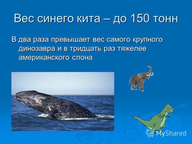 Вес синего кита – до 150 тонн В два раза превышает вес самого крупного динозавра и в тридцать раз тяжелее американского слона
