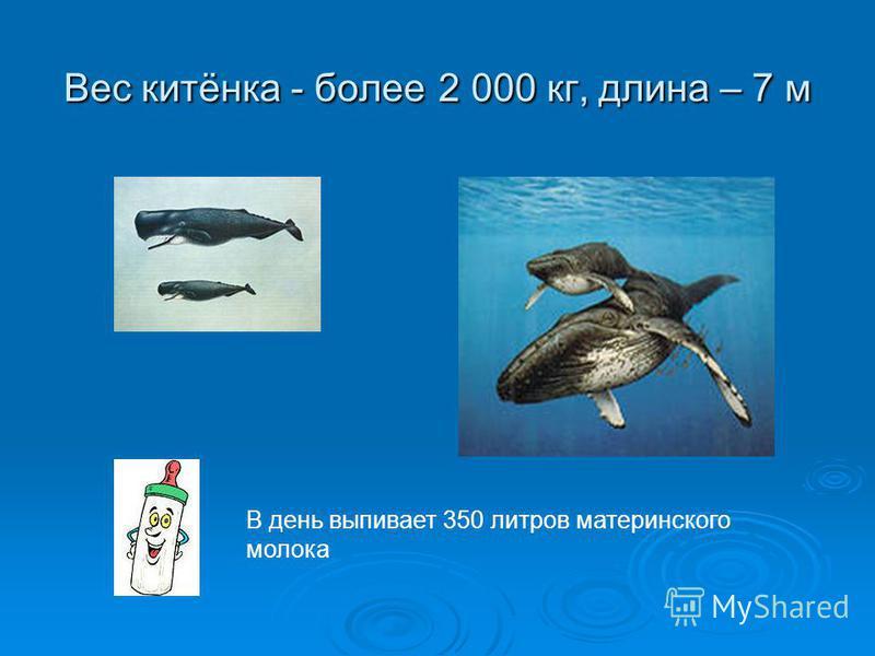 Вес китёнка - более 2 000 кг, длина – 7 м В день выпивает 350 литров материнского молока