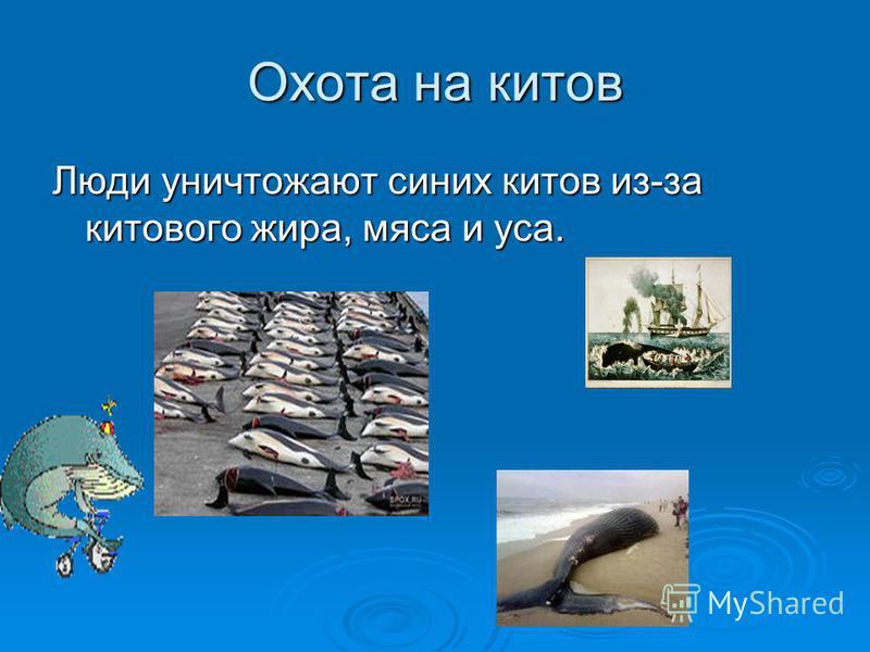 Охота на китов Люди уничтожают синих китов из-за китового жира, мяса и уса.
