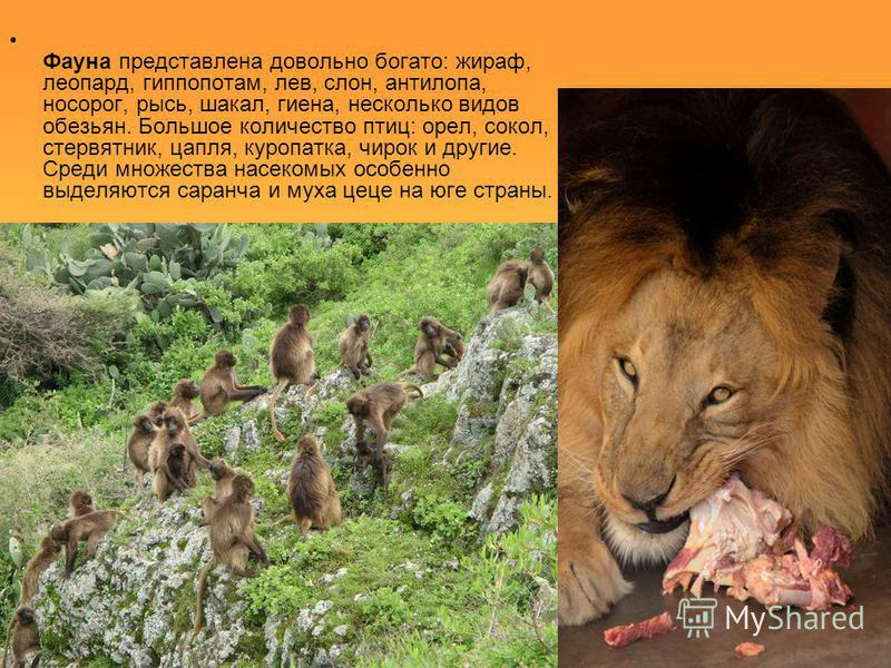 Фауна представлена довольно богато: жираф, леопард, гиппопотам, лев, слон, антилопа, носорог, рысь, шакал, гиена, несколько видов обезьян. Большое количество птиц: орел, сокол, стервятник, цапля, куропатка, чирок и другие. Среди множества насекомых о