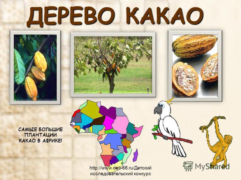 ДЕРЕВО КАКАО САМЫЕ БОЛЬШИЕ ПЛАНТАЦИИ КАКАО В АФРИКЕ! http://www.deti-66.ru/Детский исследовательский конкурс