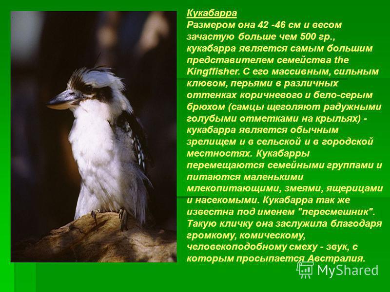 Кукабарра Размером она 42 -46 см и весом зачастую больше чем 500 гр., кукабарра является самым большим представителем семейства the Kingffisher. С его массивным, сильным клювом, перьями в различных оттенках коричневого и бело-серым брюхом (самцы щего
