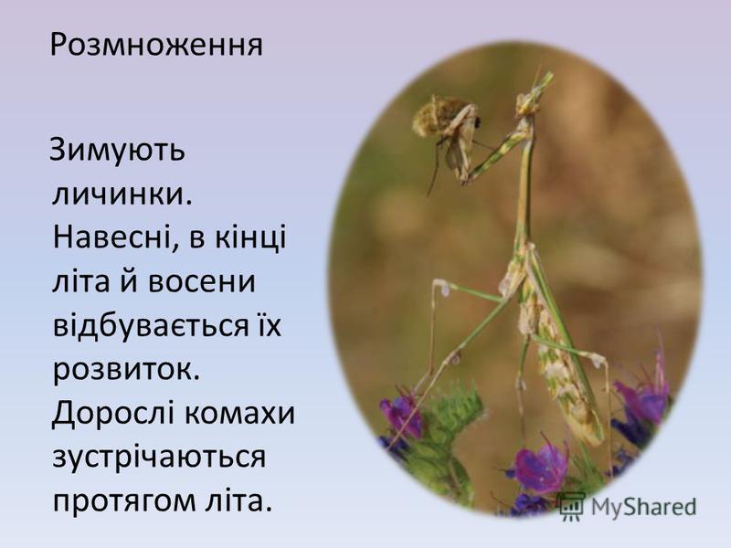 Розмноження Зимують личинки. Навесні, в кінці літа й в осени відбувається їх розвиток. Дорослі комахи зустрічаються протягом літа.