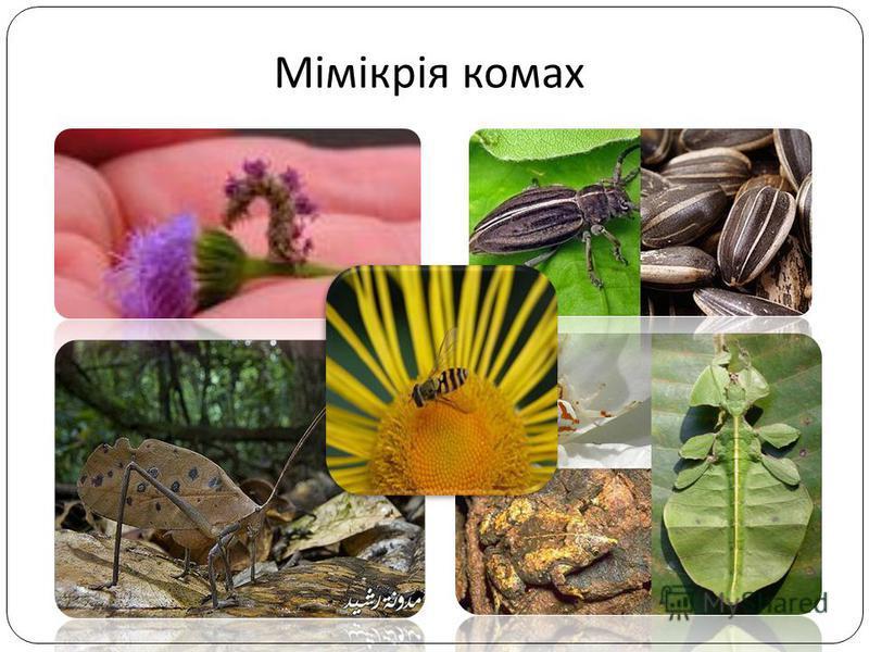 Мімікрія комах