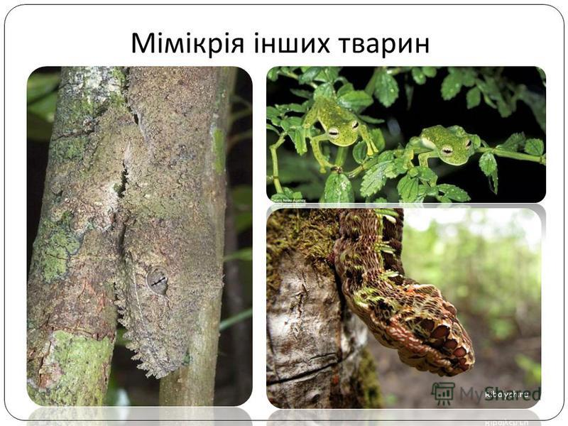 Мімікрія інших тварин
