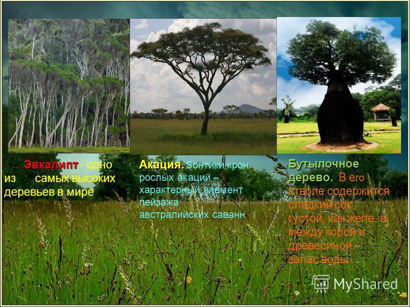 Эвкалипт Эвкалипт - одно из самых высоких деревьев в мире Бутылочное дерево.. Бутылочное дерево.. В е го стволе содержится сладкий сок, густой, как желе, а между корой и древесиной – запас воды Акация. Акация. Зонтики крон рослых акаций – характерный
