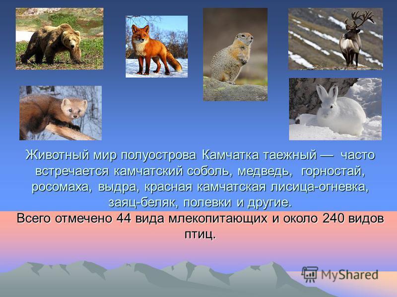 Животный мир полуострова Камчатка таежный часто встречается камчатский соболь, медведь, горностай, росомаха, выдра, красная камчатская лисица-огневка, заяц-беляк, полевки и другие. Всего отмечено 44 вида млекопитающих и около 240 видов птиц.