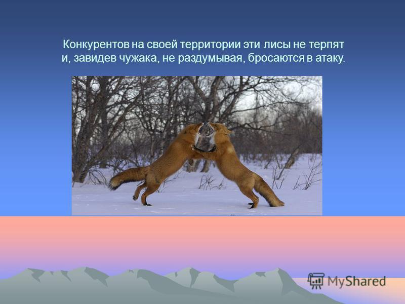 Конкурентов на своей территории эти лисы не терпят и, завидев чужака, не раздумывая, бросаются в атаку.