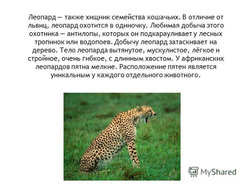 Леопард также хищник семейства кошачьих. В отличие от львиц, леопард охотится в одиночку. Любимая добыча этого охотника антилопы, которых он подкарауливает у лесных тропинок или водопоев. Добычу леопард затаскивает на дерево. Тело леопарда вытянутое,