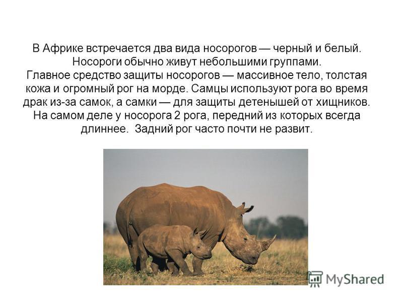 В Африке встречается два вида носорогов черный и белый. Носороги обычно живут небольшими группами. Главное средство защиты носорогов массивное тело, толстая кожа и огромный рог на морде. Самцы используют рога во время драк из-за самок, а самки для за