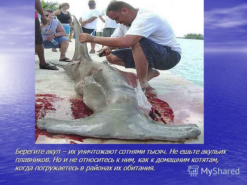Берегите акул – их уничтожают сотнями тысяч. Не ешьте акульих плавников. Но и не относитесь к ним, как к домашним котятам, когда погружаетесь в районах их обитания.