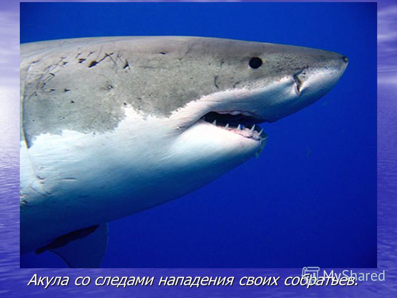 Акула со следами нападения своих собратьев.
