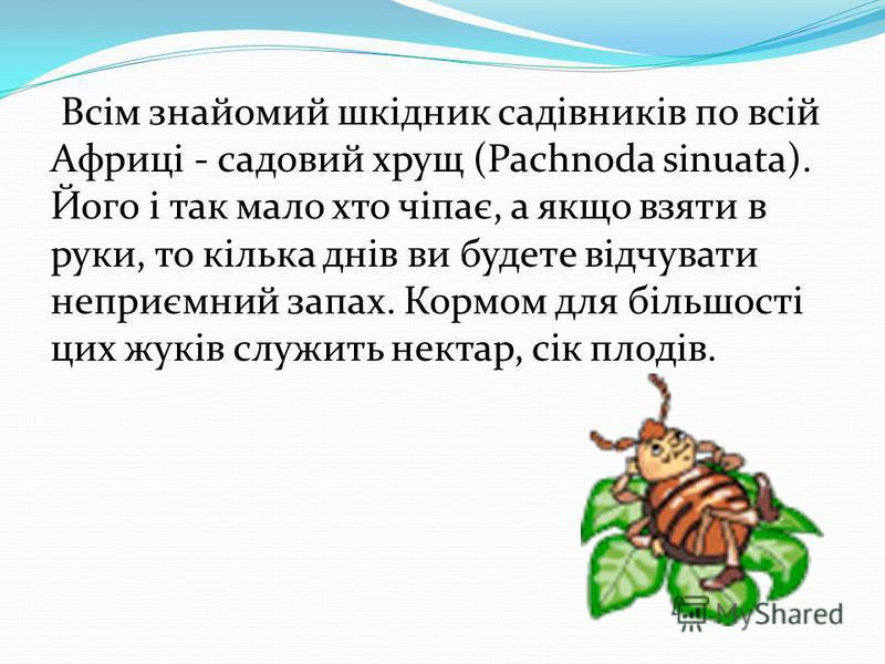 Всім знайомий шкідник садівників по всій Африці - садовый хрущ (Pachnoda sinuata). Його і так мало кто чіпає, а якщо взятки в руки, то кілька днів вы будете відчувати неприємний запах. Кормом для більшості цик жуків служить нектар, сік плодів.