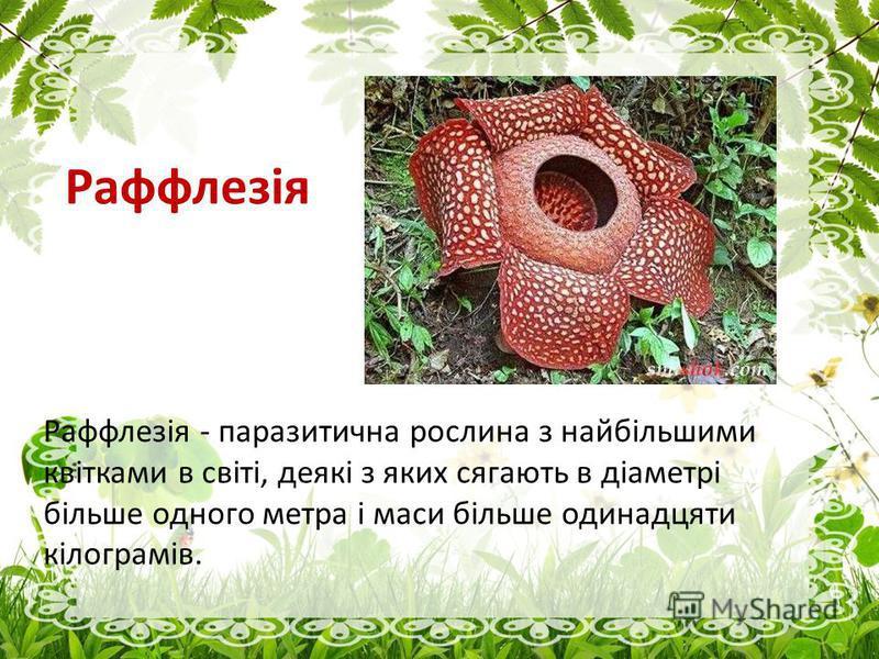 Раффлезія Раффлезія - паразитична рослина з найбільшими квітками в світі, деякі з яких сягають в діаметрі більше одного метра і маси більше одинадцяти кілограмів.