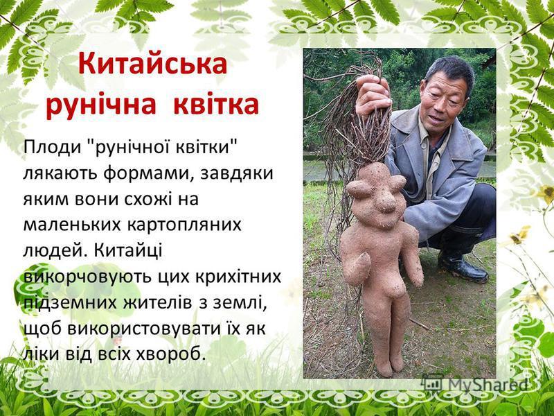 Китайська рунічна квітка Плоди рунічної квітки лякають формами, завдяки яким вони схожі на маленьких картопляних людей. Китайці викорчовують цик крихітних підземних жителів з землі, щоб використовувати їх як ліки від всіх хвороб.