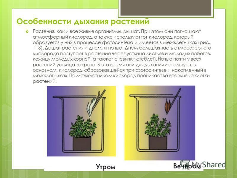 Особенности дыхания растений Растения, как и все живые организмы, дышат. При этом они поглощают атмосферный кислород, а также используют тот кислород, который образуется у них в процессе фотосинтеза и имеется в межклетниках (рис. 118). Дышат растения