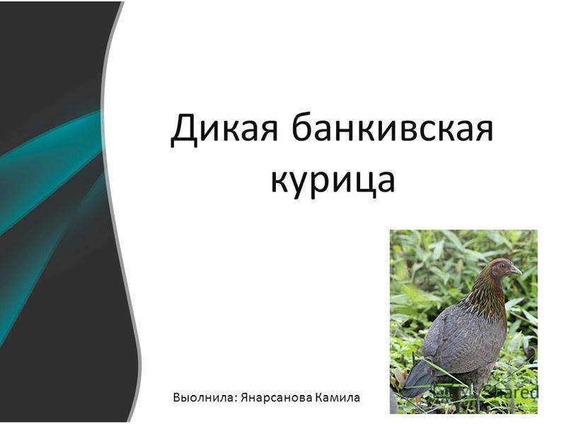 Дикая банкивская курица Выолнила: Янаpсанова Камила