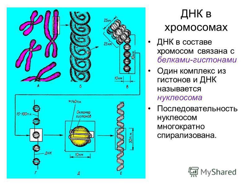ДНК в хромосомах ДНК в составе хромосом связана с белками-гистонами Один комплекс из гистонов и ДНК называется нуклеосома Последовательность нуклеосом многократно спирализована.