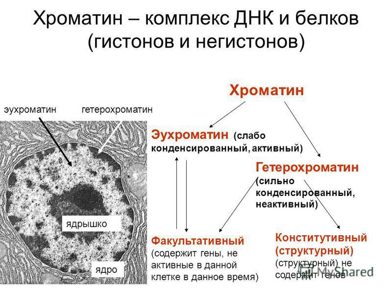 Хроматин – комплекс ДНК и белков (гистонов и не гистонов) Хроматин Эухроматин (слабо конденсированный, активный) Гетерохроматин (сильно конденсированный, неактивный) Факультативный (содержит гены, не активные в данной клетке в данное время) Конститут