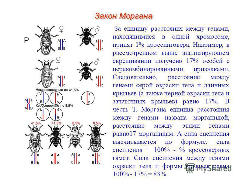 За единицу расстояния между генами, находящимися в одной хромосоме, принят 1% кроссинговера. Например, в рассмотренном выше анализирующем скрещивании получено 17% особей с перекомбинированными признаками. Следовательно, расстояние между генами серой