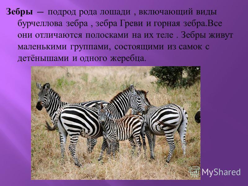 Зебры подрод рода лошади, включающий виды бурчеллова зебра, зебра Греви и горная зебра. Все они отличаются полосками на их теле. Зебры живут маленькими группами, состоящими из самок с детёнышами и одного жеребца.