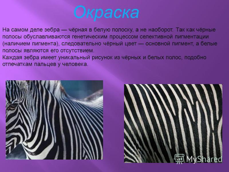 На самом деле зебра чёрная в белую полоску, а не наоборот. Так как чёрные полосы обуславливаются генетическим процессом селективной пигментации (наличием пигмента), следовательно чёрный цвет основной пигмент, а белые полосы являются его отсутствием.